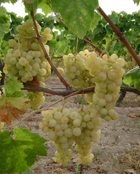 Uva bianca baresana un prodotto da riscoprire viv voce - Uva da tavola bianca ...